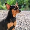 ピンシャーってどんな犬?性格の3大特徴としつけのコツとは