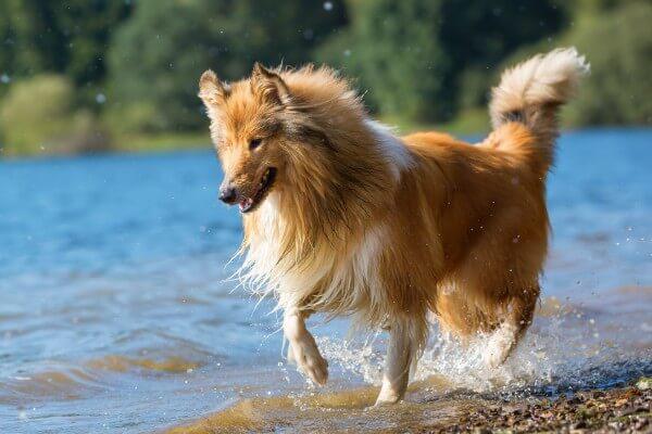 湖を走っているラフコリー