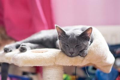 コラットの猫