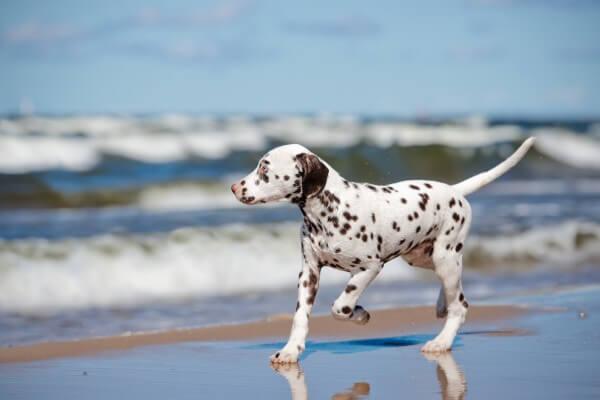 海辺を走っているダルメシアン