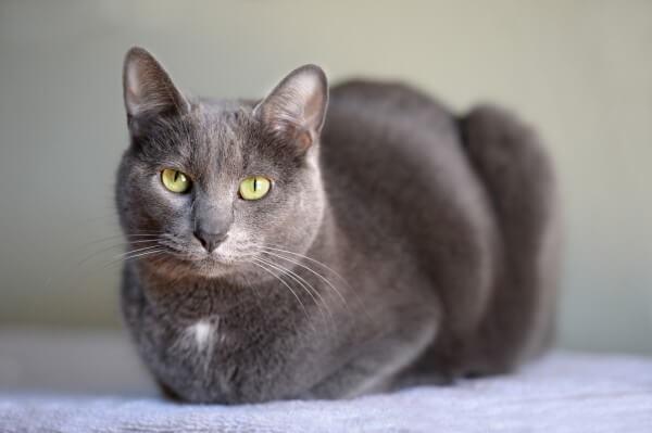 猫 コラット