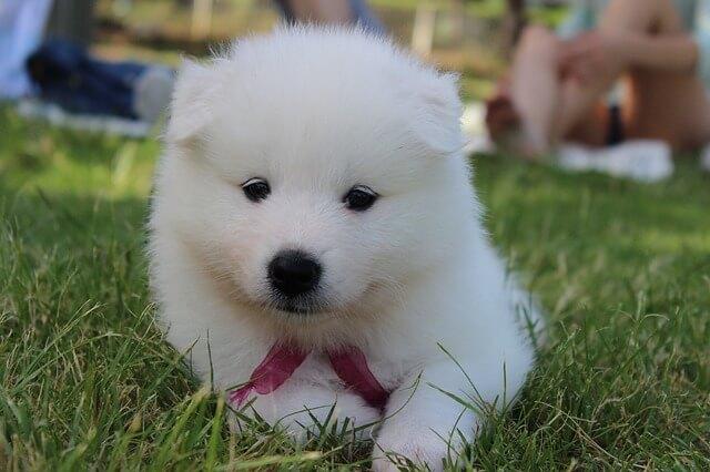 サモエドの子犬