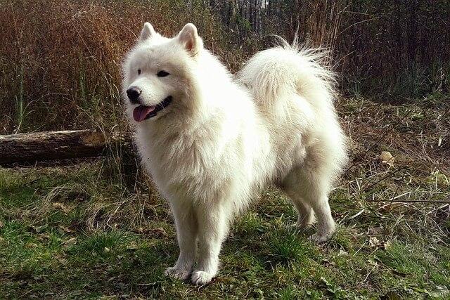 サモエドの成犬