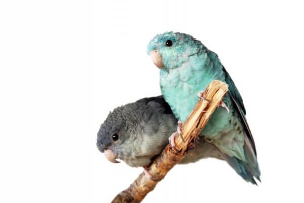 サザナミインコってどんな鳥?性格の3大特徴としつけ方法