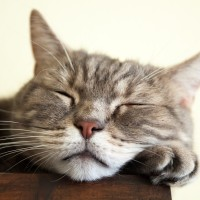 European shorthair cat is sleeping, closeup