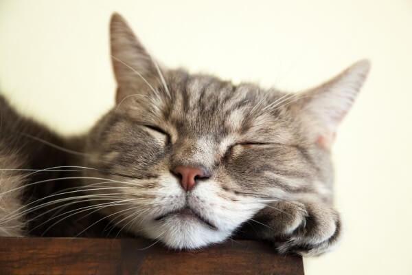 眠っているヨーロピアンショートヘア