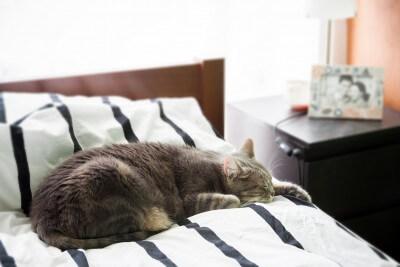 ベッドで横になっているヨーロピアンショートヘア