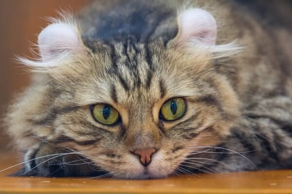 【ネコ】アメリカンカールってどんな猫?性格の5大特徴を解説