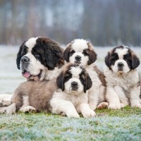 Saint bernard dog with puppies in winter
