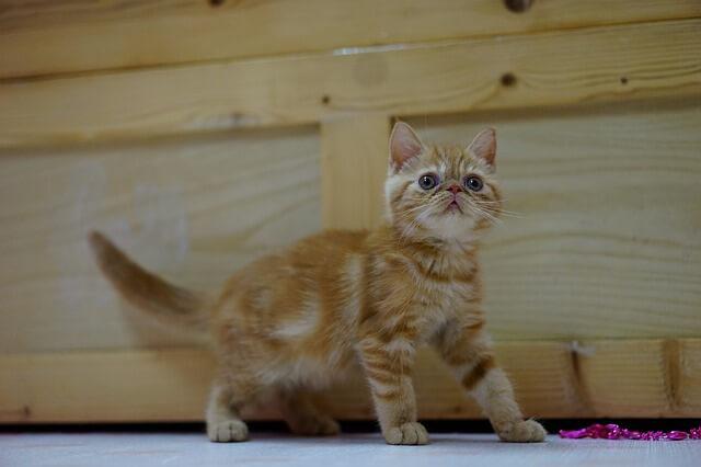 子猫のエキゾチックショートヘア