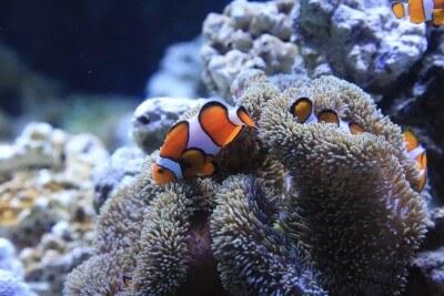 サンゴとカクレクマノミ
