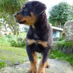 横を向いたロットワイラーの子犬