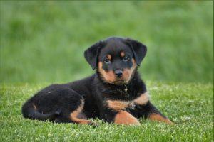 ロットワイラーの子犬