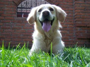 笑顔のゴールデンレトリバー