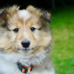 シェルティの子犬