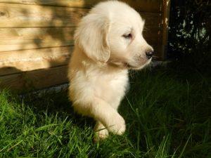 子犬のゴールデンレトリバー