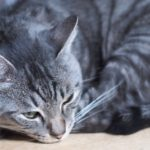 サバトラ(サバ猫)の性格の2大特徴!飼育のコツと注意点は?