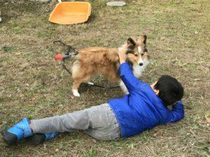 シェルティと遊ぶ子供