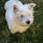 芝生の上のウエスティ