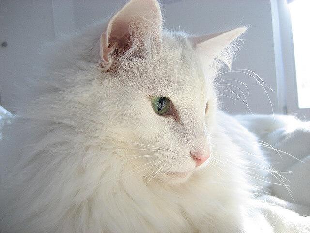ノルウェージャンフォレストキャットの白猫