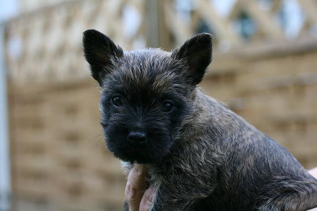 子犬のケアーンンテリア