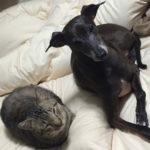 猫とイタグレ