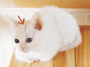 差し毛のある白猫の子猫