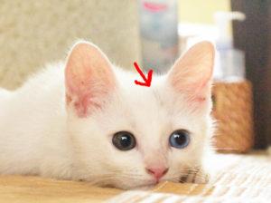 ゴーストマーキングの白猫の子猫
