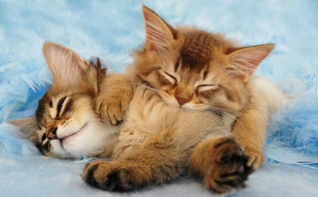 二匹の寝るソマリ