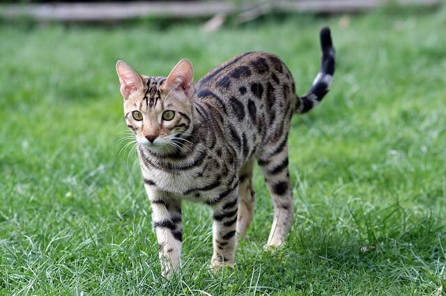 ポインテッドのベンガル猫