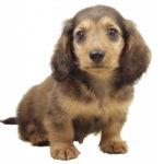カニンヘン・ダックスフンドの子犬