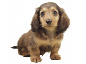 カニンヘンダックスフンドの子犬
