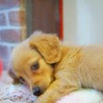 犬が去勢手術を受けたらどうなるの? 注意点や生活習慣のお話