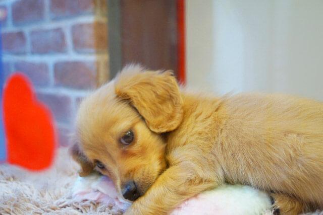 ペットショップのミニチュア・ダックスフンドの子犬