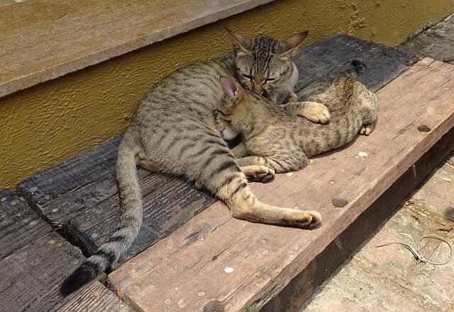 ベンガル猫の親子