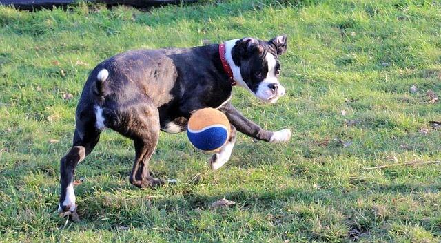 ボールで遊ぶボクサー