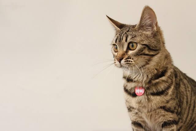 向こうを見つめるベンガル猫