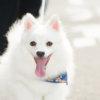 ペットの日本スピッツ犬