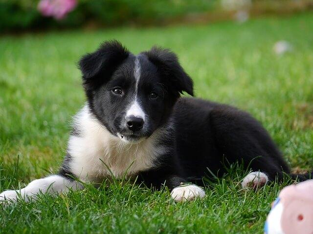 黒い子犬のボーダーコリー