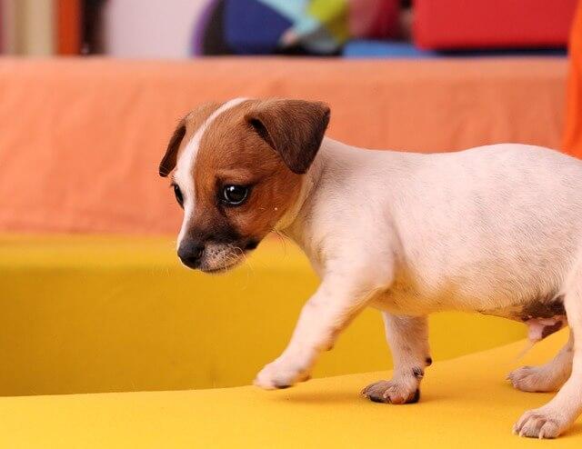 よちよち歩きのジャックラッセルテリアの子犬