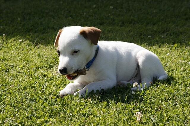 首輪を噛むジャックラッセルテリアの子犬