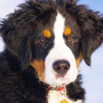 バーニズマウンテンドッグの子犬のアップ