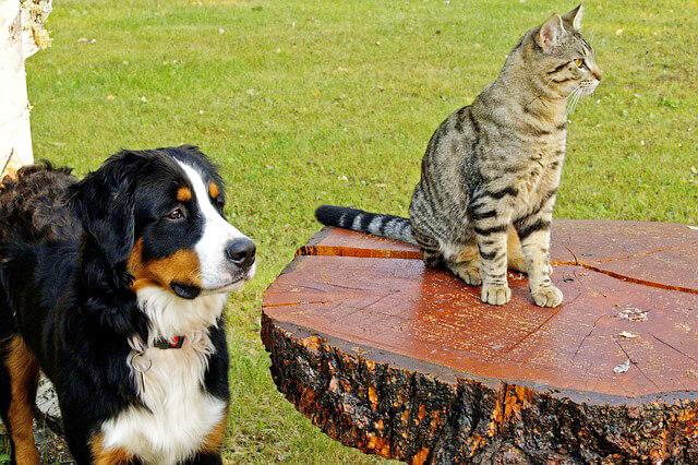 バーニズマウンテンドッグと猫