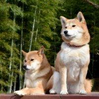 二匹の柴犬
