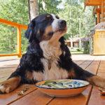 ドッフードを食べるバーニズマウンテンドッグ