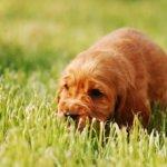 子犬のイングリッシュコッカースパニエル