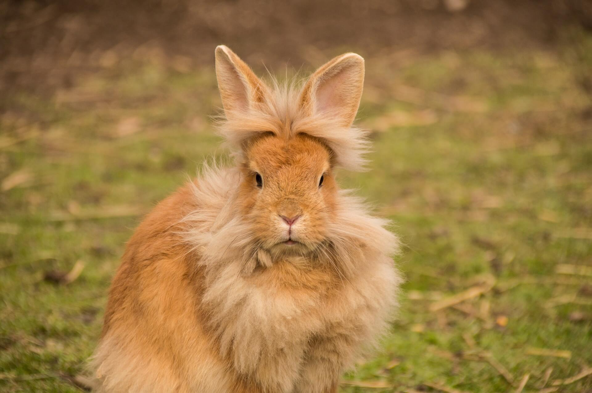 ライオンラビットはたてがみのような飾り毛と短めの耳が特徴のウサギです。ペッとしての歴史はまだまだ浅い種類ですが、その分、個性派揃いでオンリーワンの個体に