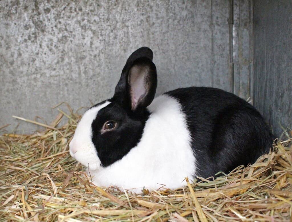 うさぎの写真:パンダウサギ