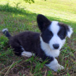 ウェルシュコーギーカーディガンの子犬