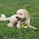 ボールで遊ぶミディアム・プードル